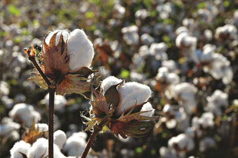 Cotton Prices Near Five-Year Low